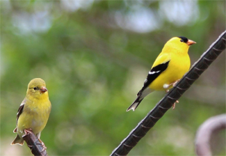 2 goldfinches