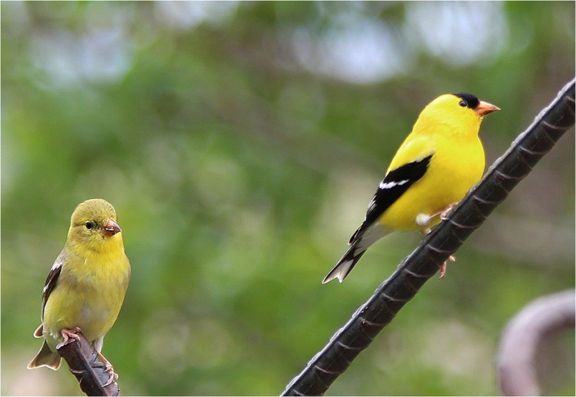 Image 6- 2 goldfinches